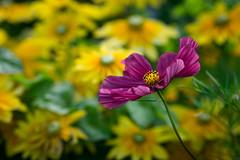Cosmos (tonybill) Tags: flowers fujifilmxe2 fujinonxf90mmf2 gardens miscellaneous rhswisley sunshine surrey wisley bokeh