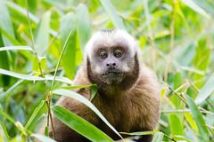 Capucin brun .. Brown Capuchin  in Manu Peru (geolis06) Tags: geolis06 prou peru per amriquedusud southamerica manu amazonie amazonia rainforest jungle fort forest madrededios biospherereserve parcnationaldeman mannationalpark 2016 patrimoinemondial unesco unescoworldheritage unescosite pantiacollatour nikon nikond7200 sigma sigma150600mmf563dgoshsmcontemporary primate monkey singe capucinbrun sapajus apellablackcapped capuchinbrown singessapajus capuchintufted capuchin capuchintufte