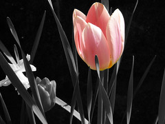 At dawn I unite with the breeze (Nick Kenrick.) Tags: pink tulip selective hss