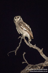 Owl In The Okavango Delta, Botswana