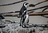 African penguin (Spheniscus demersus) (Ali Bentley) Tags: africa southafrica penguin sa africanpenguin spheniscusdemersus jackasspenguin wildpenguin