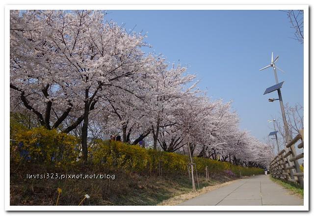여의도벚꽃26