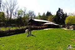 Zoo Bratislava 18.04.2015 180 (Fruehlingsstern) Tags: zoo zebra giraffe bratislava br gibbon dinosaurier katta schimpanse nashorn dinosaurierpark roterpanda zoobratislava weisetiger weiselwen panasonicfz200