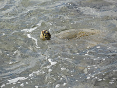 Honu /green sea turtle (kenjet) Tags: ocean sea vacation swimming island hawaii pacific head turtle surface pacificocean kauai honu greenturtle greenseaturtle