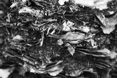 naked (Rodrigo Alceu Dispor) Tags: bw macro tree naked coconut sigma coqueiro pelado