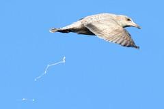 Caught In The Act. (stonefaction) Tags: nature birds scotland dundee wildlife gull ponds herring larus argentatus swannie 1cy ringeuropelarusargentatus j7295 nj7295