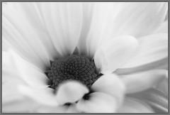 Bloemen-IMG_0965 (jac135) Tags: flowers macro canon 100mm subjects bloemen 5dmii