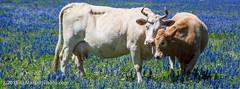 Texas Wildflowers 24Mar15-7 (KLMP) Tags: flowers usa tractor windmill texas cattle southern fields wildflowers bluebonnets luling poteet betweenlulingandpoteetareas