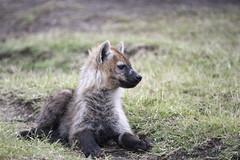 _JMH9647 (joannehedger) Tags: spotted hyena masaimara hyaenidae joannehedger httpjoannehedgerblogspotcouk