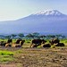 African (Cape) Buffalo in front of Mt. Kilimanjaro, Amboseli National Park, Kenya
