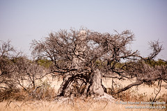 Termite Mound Engulfing A Thorn Tree In Etosha National Park, Namibia