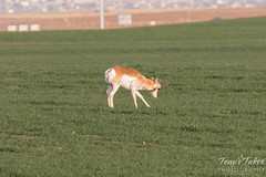 Pronghorn on the plains