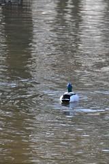 Kwak (ehulshof) Tags: nature water netherlands birds duck natuur calm simple eend vogel behaviour