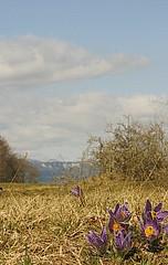 _MG_2bouquet de pulsatille (luka116) Tags: fleur schweiz switzerland suisse swiss anemone svizzera premier vaud pulsatillavulgaris 2015 renonculaces pulsatillea