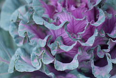 two sides or one (Fe 108Aums) Tags: creativity arts science whole cabbage flowering kale facets twosides maejemison notdifferent