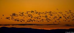 Morning Flight (russell colletta) Tags: sandhillcranes