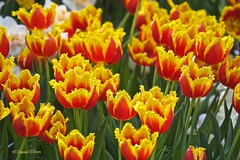 Red and yellow tulips (danielusescanon - driving to Alaska) Tags: red yellow tulip lewisginterbotanicalgarden flowercolors