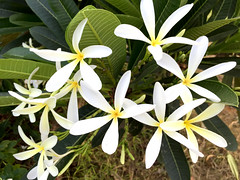 (Plumeria) (Sacchidanand (Sachi) Chavan) Tags: flower plumeria champa chafa  chafaflower