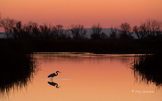 Great Egret at Sunset (Explored)