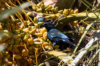 Cape Glossy Starling In Date Tree