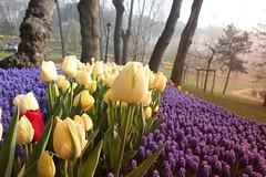 IMG_3846 (gkimirti) Tags: flower tulip 2015 emirgan laleler