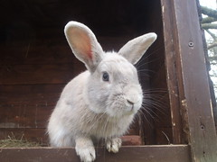 Charlie (rjmiller1807) Tags: rabbit bunny easter animalrescue april bun oxfordshire kaninchen rspca harwell 2015 rspcaoxfordshire