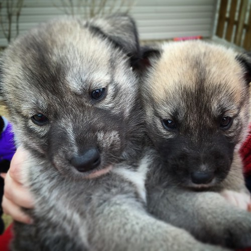"""Corn pop and Lucky Charm #yxy - part of #Yukon Animal Rescue Network's """"Cereal"""" litter. Find YARN on Facebook to find out about adopting these sweet husky x lab #rescuedogsofinstagram"""