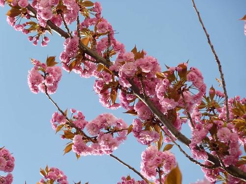 Kirschblüte 2015 Heerstrasse