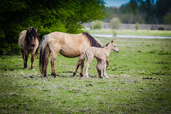Konik Family with young foal (inekehuizing) Tags: horses nature landscape spring natuur lelystad landschap paarden voorjaar koniks oostvaarderplassen inekehuizingfotografie
