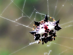 Spiny Orb Weaver - dorsal view (tinlight7) Tags: nepal spider orbweaver spinyorbweaver taxonomy:kingdom=animalia animalia taxonomy:phylum=arthropoda arthropoda taxonomy:subphylum=chelicerata chelicerata taxonomy:class=arachnida arachnida taxonomy:order=araneae araneae taxonomy:suborder=araneomorphae araneomorphae taxonomy:infraorder=entelegynae entelegynae taxonomy:superfamily=araneoidea araneoidea taxonomy:family=araneidae araneidae taxonomy:genus=gasteracantha gasteracantha spinyorbweavers arañastejedorasespinosas taxonomy:common=spinyorbweavers taxonomy:common=arañastejedorasespinosas taxonomy:species=hasselti taxonomy:binomial=gasteracanthahasselti gasteracanthahasselti arañatejedoraespinosa taxonomy:common=arañatejedoraespinosa inaturalist:observation=1411619