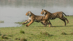 Tigers on the Run (Raymond J Barlow) Tags: travel india wildlife tiger adventure raymondbarlowtours