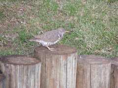 Spotted Sandpiper (Two Cats Productions) Tags: