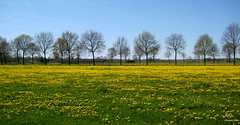 Holland Landscape Flowers (JaapCom) Tags: flowers flower nature netherlands dutch landscape flowering landschaft paysbas landed veluwe dandelions landschap paardebloemen naturel hollanda wezep jaapcom