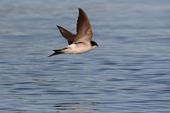 "House Martin (DaveChapman ""If it flies,I shoot it"") Tags: blue bird water spring wings feeding flight feed hirundine"