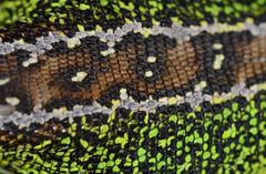 male sand lizard, Lacerta agilis (one of two images) (willjatkins) Tags: macro lizard scales lizards britishwildlife lacerta lacertaagilis sigma105mm patternsinnature sandlizard ukwildlife springwildlife uklizard britishreptiles dorsetwildlife macrowildlife lizardscales reptilescales britishlizards britishreptilesandamphibians uklizards ukreptiles nikond7100 britishherpetofauna ukamphibiansandreptiles ukreptilesandamphibians britishamphibiansandreptiles dorsetreptiles purbeckwildlife dorsetlizards purbeckreptiles lizardsofeurope purbecklizards