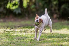 Jack Russell Terrier Dog Jumping On Meadow (kalypsoworldphotography) Tags: summer dog motion game nature grass tongue closeup female speed forest training ball fun freedom athletic energy play dynamic angle action outdoor expression walk air small joy meadow fast canine running run front terrier ear tennisball creature excitement companion leap jackrussellterrier sturdy alert clever intensity pedigree instinct purebred alertness parsonterrier