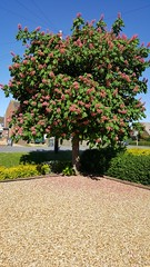 Horse Chestnut Tree. (LBCSteve) Tags: pink blue horse tree green chestnut