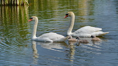 Jahrgang 2016 (Harald52) Tags: tiere natur paar vgel schwan kken