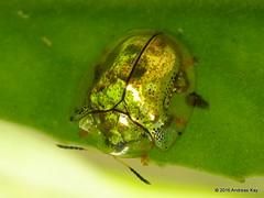 Tortoise beetle, Cassidinae (Ecuador Megadiverso) Tags: gold ecuador beetle coleoptera leafbeetle chrysomelidae tortoisebeetle cassidinae