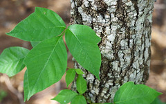 Leaves of Three (ertolima) Tags: macro tree green leaves three leaf ivy bark poison itchy justleaves macromonday leaveonlyleaves