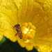 Squash+flower+with+bee