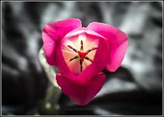 (Fay2603) Tags: pink light plant flower grey licht pflanze rosa grau indoor stamens frame tulip lightning blume rahmen stempel tulpe innenleben schrfentiefe leuchten bilderrahmen fotorahmen staubgefse