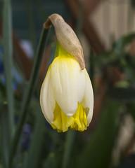 Narciso (Sergio Dini) Tags: flower lumix fiore narciso gx1 lumixgx1 sergiodini