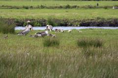 Tuinen van West (pdp.osdorp) Tags: amsterdam ganzen natuurgebied