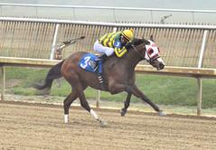 "2016-01-08 (20) r1 Taylor Hole on #3 The Nattitude Way (JLeeFleenor) Tags: photos photography md marylandracing marylandhorseracing laurelpark sport sports jockey جُوكِي ""赛马骑师"" jinete ""競馬騎手"" dżokej jocheu คนขี่ม้าแข่ง jóquei žokej kilparatsastaja rennreiter fantino ""경마 기수"" жокей jokey người horses thoroughbreds equine equestrian cheval cavalo cavallo cavall caballo pferd paard perd hevonen hest hestur cal kon konj beygir capall ceffyl cuddy yarraman faras alogo soos kuda uma pfeerd koin حصان кон 马 häst άλογο סוס घोड़ा 馬 koń лошадь bay outside outdoors maryland"