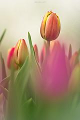 Blurred... (oskaybatur) Tags: pink flower nature closeup turkey spring dof pentax trkiye tulip april ricoh flu nisan bolu iekler 2016 turkei lale ilkbahar pembe justpentax pentaxda55300mmf458ed pentaxart pentaxk3 oskaybatur