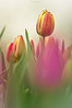 Blurred... (oskaybatur) Tags: pink flower nature closeup turkey spring dof pentax türkiye tulip april ricoh flu nisan bolu çiçekler 2016 turkei lale ilkbahar pembe justpentax pentaxda55300mmf458ed pentaxart pentaxk3 oskaybatur