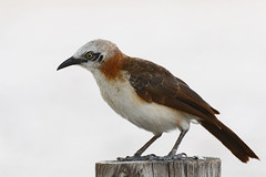 Zaragateiro-de-faces-nuas // Bare-Cheeked Babbler (http://jvverde.birdsby.me/v2/) Tags: lintu madr  turdoidesgymnogenys barecheekedbabbler  zaragateirodefacesnuas