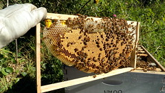 """Carniola hive H2G """"capped brood"""" (upon the queens orders(top-left-corner - geez! that happens fast when those are put in!)) MAY 2016 (nicephotog) Tags: macro closeup insect european deep cell full bee frame worker nurse honeycomb capped honeybee beehive larvae colony brood apis mellifera langstroth"""