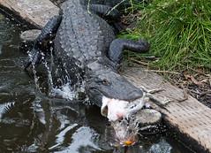 nature is indifferent (fins'n'feathers) Tags: birds animals florida eating wildlife alligator egret staugustine rookery nesting nests alligatorfarm